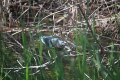 IMG_4778 (avsfan1321) Tags: florida usa unitedstates unitedstatesofamerica everglades nationalpark evergladesnationalpark findyourpark anhingatrail wetland bird heron greenheron
