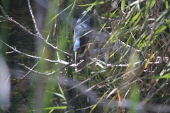 IMG_4751 (avsfan1321) Tags: florida usa unitedstates unitedstatesofamerica everglades nationalpark evergladesnationalpark findyourpark anhingatrail wetland bird heron greenheron