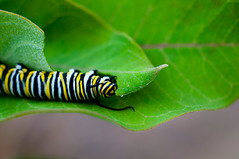 Monarch Caterpiller (Erich J. Harvey) Tags: algoma ontarionature brucemines caterpillar monarch