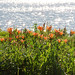 Lakeside Lilies-HBW!