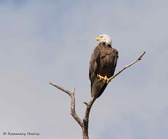 Adult Bald Eagle. (rosemaryharrisnaturephotography) Tags: baldeagle eagle florida tree sky adultbaldeagle rosemaryharris canoneos7dmark11 canon400mmeff56seriesllens wildlife bird nature raptor
