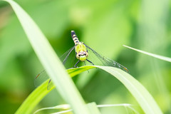 06092019-287-2 (Bill Friggle Photography) Tags: dragonfly bug insect