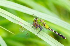 06092019-284-2 (Bill Friggle Photography) Tags: dragonfly bug insect
