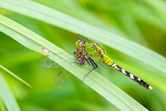 06092019-279-2 (Bill Friggle Photography) Tags: dragonfly bug insect