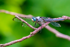 06092019-239-2 (Bill Friggle Photography) Tags: dragonfly bug insect