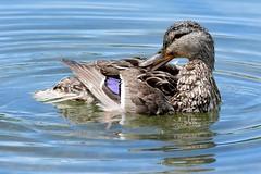 GROOMING...GROOMING...GROOMING, ACA PHOTO (alexanderrmarkovic) Tags: groominggroominggrooming acaphoto duck mallardfemalemallard scarboroughontariocanadatorontoblufferspark lakeontario