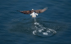 850_4366 Grab N Go (Wayne Duke 76) Tags: attack water turbulence force eagle wings