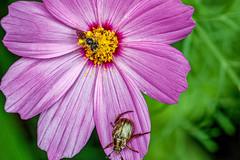 Cosmos (leeshelp) Tags: bipinnatus cosmos flower purple macro closeup leeshelp canon eosr 10mm 100mmmacro bugs