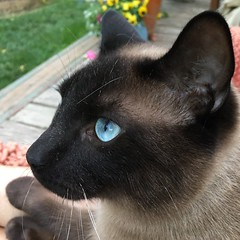 Simon is a sweet 10 month old Siamese kitty we adopted from the Humane Society in March 13, 2019. We just love him (Kim Beckmann) Tags: