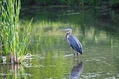 Great blue heron (andyraupp3) Tags: sunset evening wildlife nature birds heron blue great