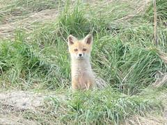 Swift fox (Vulpes velox) (tigerbeatlefreak) Tags: swift fox vulpes velox mammal canidae nebraska