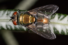 Fly (zosterops) Tags: australia queensland cairns macro insecta canoneos6d diptera luciliacuprina calliphoridae