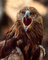 Z7_5980 Golden Eagle (greyhound rick) Tags: eagle goldeneagle bird eyes beauty outdoors phoenix arizona phoenixzoo nikon nikkor nikonmirrorless nikonz7 mirrorless zoo brown lightroom photoshop nikcollection godox flashpoint