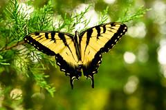 Yellow Butterfly (milliron27) Tags: butterfly northcarolina summertime macro