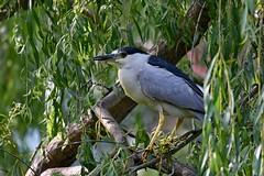 Black-crowned Night Heron (kevinwg) Tags: blackcrowned night heron blackcrownednightheron tree bird willow
