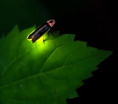 Night Life (arlene sopranzetti) Tags: firefly lightning bug summer glow new jersey
