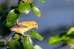 Hungry Finch (mtb2470) Tags: telephoto tamron nikond5600 nikon naturephotography goldfinch finch ornithology birding birdwatching outdoors nature