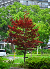 Red maple tree in a park (phuong.sg@gmail.com) Tags: autumn autumnal background border branch brown burn bush changing colored colorful environment fall foliage forest frame garden gold golden green japan landscape leaf leaves maple nature november orange ornamental park plant red season seasonal shine sun sunlight sunny sunshine time travel tree warm weather yellow