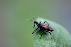Milkweed Assassin (rdodson76) Tags: assassinbug bug insect pest entomology macro nature background venomous bite antenna green environment habitat