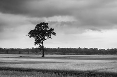 * (bhodaporel) Tags: blackandwhite tree field crop patterns solitary paddy sky clouds monsoon northbengal