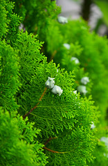 Cedrus tree for decorations (phuong.sg@gmail.com) Tags: arborvitae background beautiful beauty blossom botany branch bright bush cedar cedrus cone coniferous cypress decoration decorative detail environment evergreen flora foliage forest fresh garden green growth hedge leaf leyland macro natural nature occidentalis outdoor park pattern plant season seed shrub spring stem summer texture tree twig