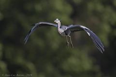 Grey Heron (Ardea cinerea) (Jeluba) Tags: 2019 ardeacinerea canon dombes france graureiher greyheron héroncendré jeanlucbaron jeluba aves bird birdwatching nature oiseau ornithology wildlife horizontal inflight