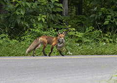 7DM23501 (VNR Photography) Tags: vnrphotography vnr andrevonnickisch avnrphotogmailcom 9058679106 fox nature animal wildanimal ontario canada redfox