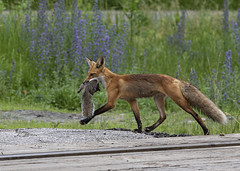 7DM23487 (VNR Photography) Tags: vnrphotography vnr andrevonnickisch avnrphotogmailcom 9058679106 redfox fox nature animal wildanimal ontario canada