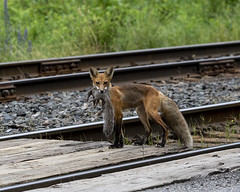 7DM23473 (VNR Photography) Tags: vnrphotography vnr andrevonnickisch avnrphotogmailcom 9058679106 redfox fox nature animal wildanimal ontario canada