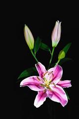 lirios de día - one day lilies (Luis FrancoR) Tags: liriosdedíaonedaylilies flores flowers lilies luisfrancor ngw ngs ngd ngg ngm ng ngc ngo macro nikon60mm28 nikonbest nikonistas nikon nikonflickraward nikond600 60mmf28gmicro