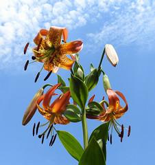 Turk's-cap Lily (annette.allor) Tags: liliumsuperbum flower lily nature roadside turks cap lilies