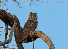 Long-eared Owl 5349 (Jeff Brough) Tags: jeffbrough idaho owl longearedowl predator raptor asiootus birdofprey refuge wildlife bird