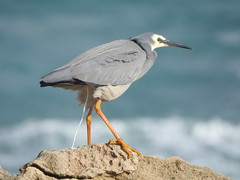 White-faced Heron in a stiff breeze at Stingray Bay, Warrnambool, while the Sun made a brief appearance... storm brewing... (Kerry Vickers) Tags: birds herons southwestvictoria