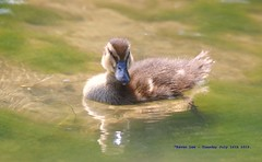Duckling........ (law_keven) Tags: duckling ducks dedham esses england suffolk photography wildlifephotography wildlife birds avian