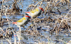 Red Browed Finches (iansand) Tags: huterwetlands bird neochmiatemporalis