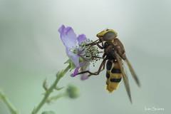 Macro (bodyaristarco) Tags: mosca avispamosca insecto macro natural naturaleza