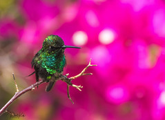 A little gem! (Blue-tailed Emerald 6) (Jambo53 ()) Tags: kolibri hummingbird colibri crobertkok iridescent caribbean nikond500 bluetailedemerald chlorostilbonmellisugus bokeh kolibrie