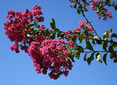 """Blue and pink (peggyhr) Tags: flowers peggyhr california pink blue sky tree green branch sacramento dsc05029a usacalifornia """"crepemyrtle"""""""