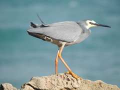 White-faced Heron holding on tight in a stiff breeze at Stingray Bay, Warrnambool, while the Sun made a brief appearance... storm brewing... (Kerry Vickers) Tags: birds herons