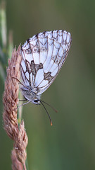 Marbled White Wings! (RiverCrouchWalker) Tags: marbledwhite melanargiagalathea butterfly underwing wingwednesday happywingwednesday southwoodhamferrers fenncreek essex july 2019 summer grass insect invertebrate