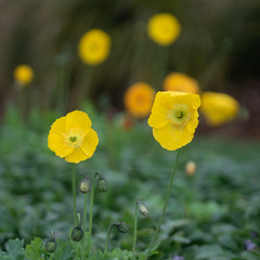 Poppy flowers in and out of focus (198/365) (johnstewartnz) Tags: 198365 day198 onephotoaday oneaday onephotoaday2019 365project project365 squarecrop yellow flower flowers poppy poppyflower yellowflower canon canonapsc apsc eos 100canon 7dmarkii 7d2 7d canon7dmarkii canoneos7dmkii canoneos7dmarkii 70200mm 70200 70200f28 70200mmf28 shallowdepthoffield depthoffield dof