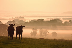 Dorset Sunrise (Sky and Yak) Tags: dorset sunrise sun mist rural cow cattle view panorama grass countryside dawn cloud bovine farm eaststour uk england