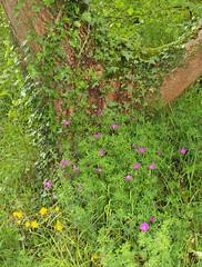 2019_06_0129 (petermit2) Tags: bloodycranesbill bloodygeranium cranesbill geranium geraniaceae geraniumsanguineum littonmill litton millersdale peakdistrict derbyshire
