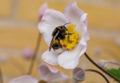 6M7A6780 (hallbæck) Tags: humlebi bumblebee bombus nectar nektar høstanemone harvestanemone bi bee blomst flower blume fleur fiore flor blomma mh hørsholm denmark macro canoneos5dmarkiii ef100mmf28lmacroisusm fouragering macrounlimited