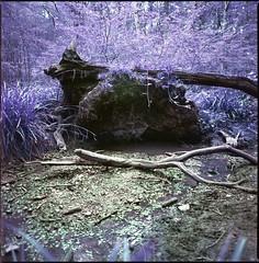 a walk in the woods (steve-jack) Tags: hasselblad 501cm 50mm cfi lomochrome purple xr 100400 film 120 6x6 medium format lomography lomo tetenal c41 kit epson v500