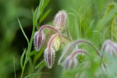 Borago officinalis - Hjulkrone (Michael Appel) Tags: borago hjulkrone annuals