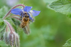 Borago officinalis - Hjulkrone (Michael Appel) Tags: borago hjulkrone annuals bee insects