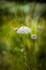 Mountain umbellifer (judy dean) Tags: judydean 2019 france flowers mountains