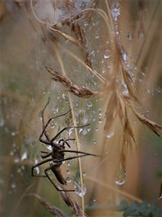 Dentellière perlée (danielled61) Tags: araignée perles pluie juillet été macro soie tente nature chemin graminée toile éphémère matin