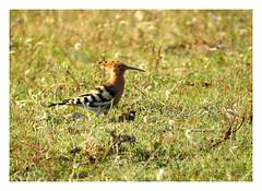 Upupa epops (M.L Photographie) Tags: nature wildlife wildlifephotography bird oiseau ornithologie ornithology france corse corsica upupa huppe hoopoe coolpix nikon p900